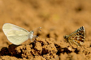 Oberthur's grizzled skipper (Pygrus armoricanus) and Wood white butterfly (Leptidea sinapis) puddling, Grands Causses Regional Natural Park, France, May. - Lorraine Bennery