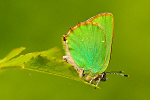 Green hairstreak butterfly (Callophrys rubi), Grands Causses Regional Natural Park, France, May.  -  Lorraine Bennery
