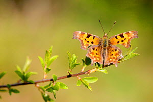 Comma butterfly (Polygonia c-album), Loiret, France, April.  -  Lorraine Bennery