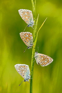 Adonis blue butterflies (Polyommatus bellargus) group of four, La Brenne Regional Natural Park, France, May.  -  Lorraine Bennery