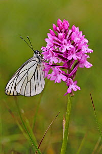 Black veined white butterfly (Aporia crataegi) resting on Pyramidal orchid (Anacamptis pyramidalis) flower, Grands Causses Regional Natural Park, France, June.  -  Lorraine Bennery