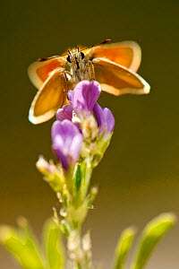 Small skipper butterfly (Thymelicus sylvestris) feeding on flowers, Hautes-Alpes, France, July. - Lorraine Bennery