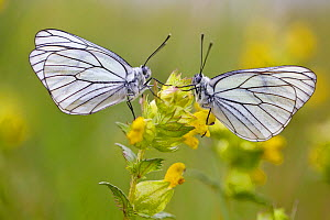 Two Black veined white butterflies (Aporia crataegi) just after emerging, Herault, France, May.  -  Lorraine Bennery