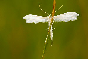 White plume moth (Pterophorus pentadactyla), Indre-et-Loire, France, May.  -  Lorraine Bennery