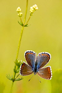 Adonis blue butterfly (Polyommatus bellargus), Grands Causses Regional Natural Park, France, June. - Lorraine Bennery