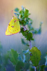 Berger's clouded yellow butterfly (Colias alfacariensis), Var, France, April.  -  Lorraine Bennery