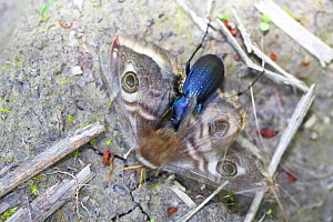 Beetle (Morphocarabus monilis) eating Giant peacock moth (Saturnia pyri),  Isere, France, April.  -  Lorraine Bennery