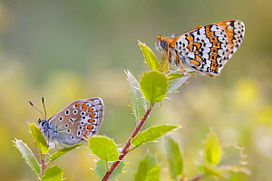 Common blue butterfly (Polyommatus icarus) and Glanville fritillary butterfly (Melitaea cinxia), Var, France, May.  -  Lorraine Bennery