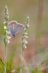 Common blue butterfly (Polyommatus icarus), Isere, France, May. - Lorraine Bennery