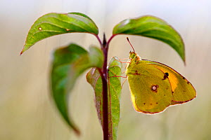 Clouded yellow butterfly (Colias croceus), Isere, France, May.  -  Lorraine Bennery