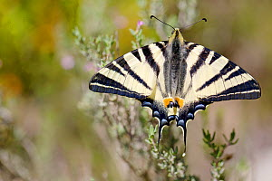 Scarce swallowtail butterfly (Iphiclides podalirius), Ardeche, France, April.  -  Lorraine Bennery