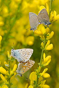 Mating pair of Small Blue Butterflies (Cupido minimus) and Chalkhill blue butterflies (Lysandra coridon) mating, Hautes-Alpes, France, May.  -  Lorraine Bennery