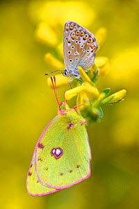 Adonis blue butterfly (Lysandra bellargus) and Berger's Clouded Yellow Butterfly (Colias alfacariensis), Hautes-Alpes, France, May.  -  Lorraine Bennery