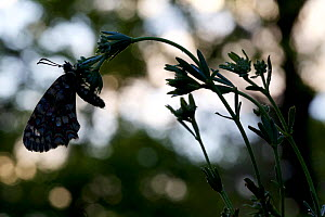 Spanish Festoon butterfly (Zerynthia rumina) silhouette, Grands Causses Regional Natural Park, France, May.  -  Lorraine Bennery