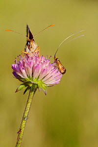 Knapweed fritillary butterfly (Melitaea phoebe) or (Cinclidia phoebe) and Brassy longhorn moth (Nemophora metallica), Var, France, May.  -  Lorraine Bennery