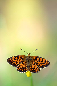 Heath fritillary (Melitea athalia), Var, France, May.  -  Lorraine Bennery