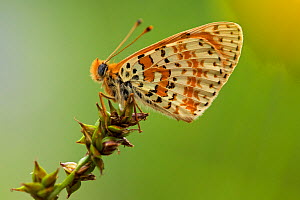 A special coloring of Spotted fritillary butterfly (Melitaea didyma), Alpes-Maritimes, France, June.  -  Lorraine Bennery