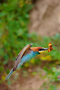European bee-eater (Merops apiaster) in flight, with a prey Oak Eggar Moth (Lasiocampa quercus), Allier, France, July. - Lorraine Bennery