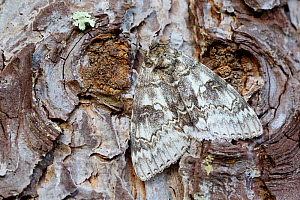 Blue underwing moth (Catocala fraxini) camouflaged on tree, Loir-et-Cher, France, October.  -  Lorraine Bennery