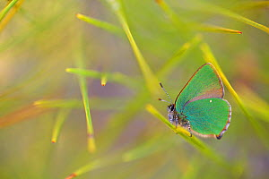 Green hairstreak butterfly (Callophrys rubi), Istrios, Rhodes island, Greece, March.  -  Lorraine Bennery