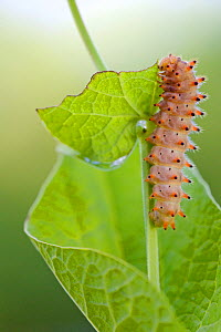 Southern Festoon butterfly caterpillar (Zerynthia polyxena), Gard, France, May.  -  Lorraine Bennery