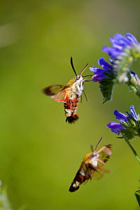 Broad-bordered bee hawkmoth (Hemaris fuciformis) feeding from flower, Grands Causses Regional Natural Park, France, May.  -  Lorraine Bennery