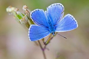 Adonis blue butterfly (Lysandra bellargus) male basking wings open, Grands Causses Regional Natural Park, France, May.  -  Lorraine Bennery