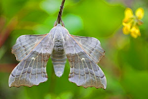 Poplar Hawkmoth (Laothoe populi), Grands Causses Regional Natural Park, France, May.  -  Lorraine Bennery