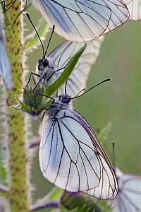Black veined white butterflies (Aporia crataegi) large group roosting on plant just after emergence, Herault, France, May.  -  Lorraine Bennery