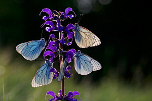 Black veined white butterflies (Aporia crataegi) group roosting on plant just after emergence, Herault, France, May.  -  Lorraine Bennery