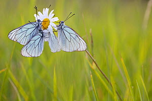 Group of Black veined white butterflies (Aporia crataegi) just after emergence, Herault, France, May.  -  Lorraine Bennery