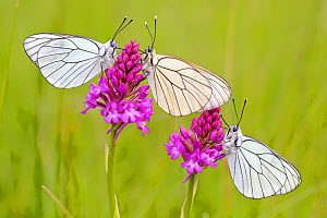 Group of Black veined white butterflies (Aporia crataegi) just after emergence on Pyramidal orchid (Anacamptis pyramidalis) Herault, France, May.  -  Lorraine Bennery
