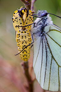 Black veined white butterfly (Aporia crataegi) just after emergence next to chrysalis, Herault, France, May.  -  Lorraine Bennery