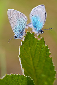 Green-underside blue butterflies (Glaucopsyche alexis) pair  mating, Herault, France, May.  -  Lorraine Bennery