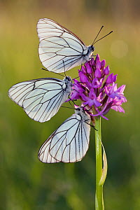 Group of Black veined white butterflies (Aporia crataegi) on flower, just after emergence, Herault, France, May.  -  Lorraine Bennery