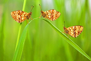 Lesser marbled fritillary butterflies (Brenthis ino) group of three, Haute-Savoie, France, June.  -  Lorraine Bennery