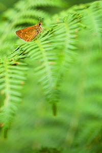 Large skipper butterfly (Ochlodes sylvanus) resting on fern, Seine-et-Marne, France, July. - Lorraine Bennery