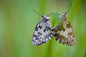 Two Marbled white butterflies (Melanagria galathea) mating, Seine-et-Marne, France, July. - Lorraine Bennery