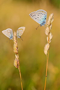 Blue butterflies, from left to right : Eros blue (Polyommatus eros), Northern Blue (Plebejus idas) and Amanda's blue (Polyommatus amandus) on grass, Hautes-Alpes, France, July. - Lorraine Bennery