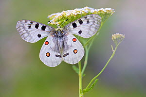 Apollo butterfly (Parnassius apollo) resting on umbilifer flower, Hautes-Alpes, France, July.  -  Lorraine Bennery