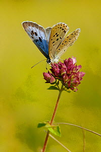 Large blue butterfly (Maculinea arion)  on flower, Indre-et-Loire, France  -  Lorraine Bennery