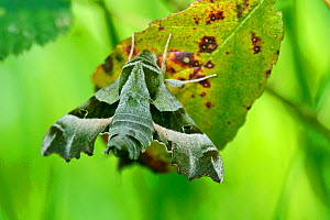 Willowherb hawkmoth (Proserpinus proserpina) on leaf, Indre-et-Loire, France, April.  -  Lorraine Bennery