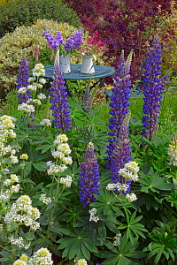Blue Lupins and White Valarian flowering in the foreground in country garden with an abundance of plants and flowers. England, UK. - Ernie  Janes