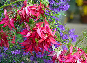 Glory pea (Clianthus puniceus) 'Kaka King' in garden England, UK. - Ernie  Janes