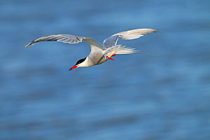 Common tern (Sterna hirundo) in flight, Titchwell RSPB reserve Norfolk, England, UK, May.  -  Ernie  Janes