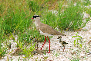 Crowned plover (Vanellus coronatus) with young, Etosha National Park, Namibia  -  Ernie  Janes
