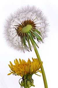 Dandelion (Taxaxacum officinale) seed head and flowers. England, UK. - Ernie  Janes