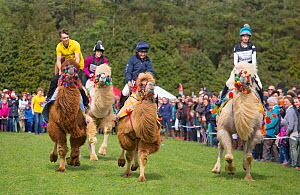 People racing on domesticated Bactrian camels (Camelus bactrianus) with colourful halters.  England, UK. - Ernie  Janes