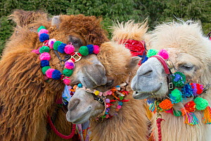 Domesticated Bactrian camels (Camelus bactrianus) with colourful halters, used for camel racing England, UK.  -  Ernie  Janes