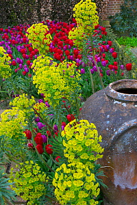 Spurge (Euphorbia characias subsp. wulfenii) in garden with  Tulips (Tulipa) and urn, England, UK.  -  Ernie  Janes